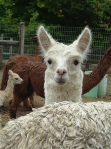 Alpacas of The Southwest - Kingman, AZ 86401