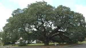 The Big Oak and The Big Oak Cam