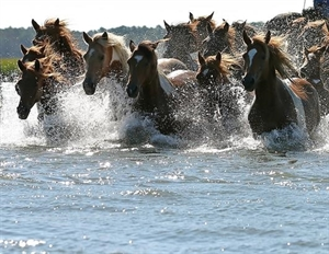 Annual Chincoteague Pony Swim and Auction
